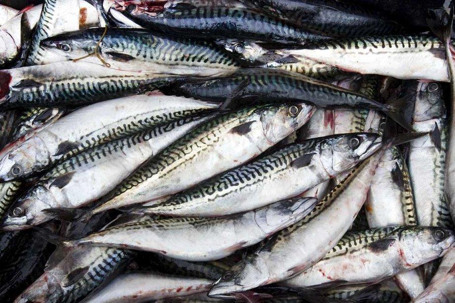 344226-maquereau-sert-appat-pour-homard